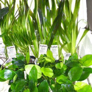 piante ,anubias,vallisneria negozio acquari ,piante acquario