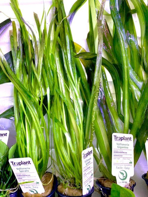 vallisneria gigantea, piante per acquario milano varese ,