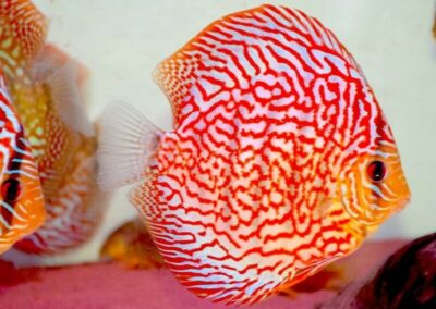 discus rosso turchese-min