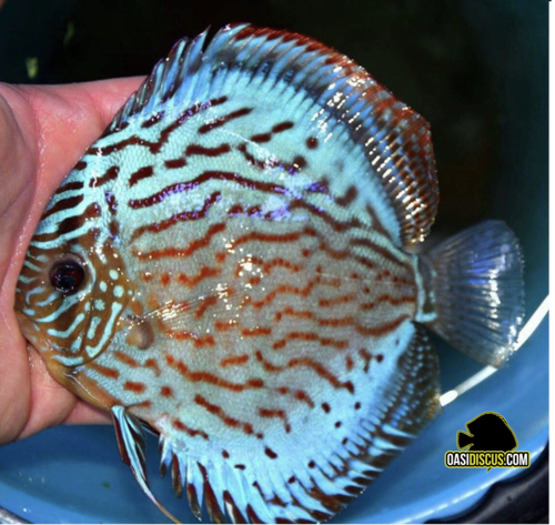 discus turchese rosso